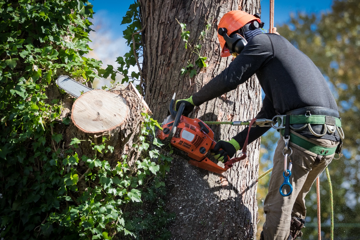 man in safety harnesses and helmet cuts down large tree sections